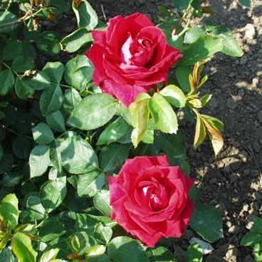 Pákozd - Floribunda rózsa