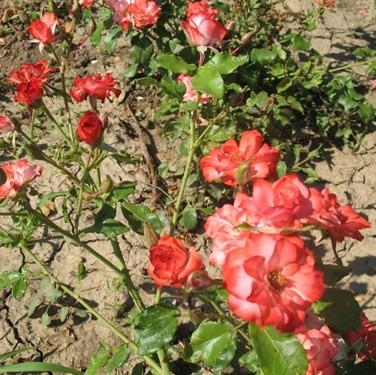 Papageno - Polianta rózsa