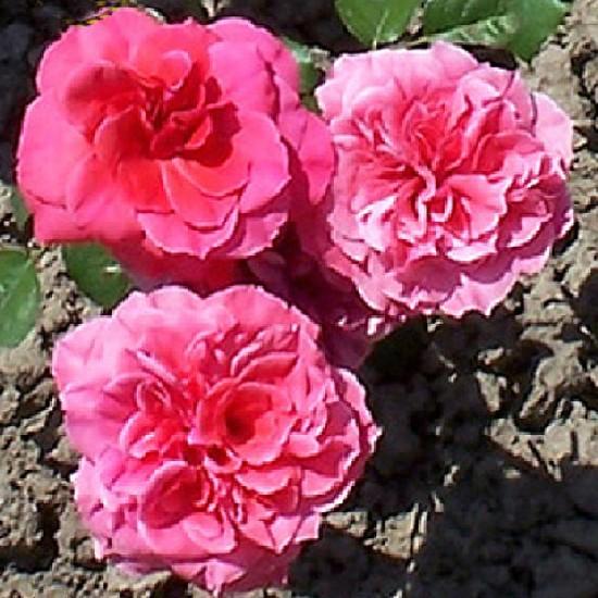 Pécs - Polianta rózsa
