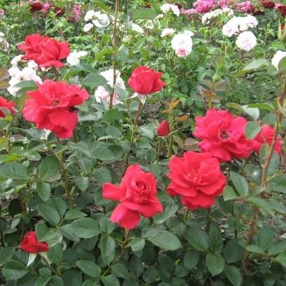 Petrőczy Kata Szidónia emléke - Teahibrid rózsa