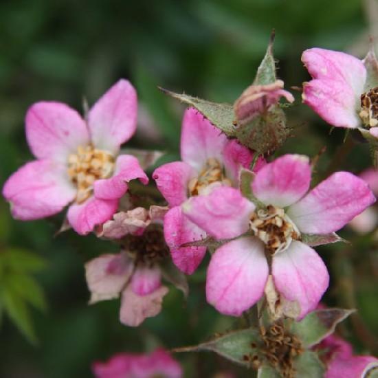 Pöttöm - Miniatűr rózsa