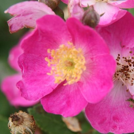 Puck - Miniatűr rózsa