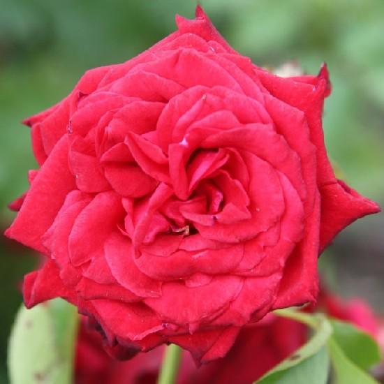 Radnóti Miklós emléke - Teahibrid rózsa