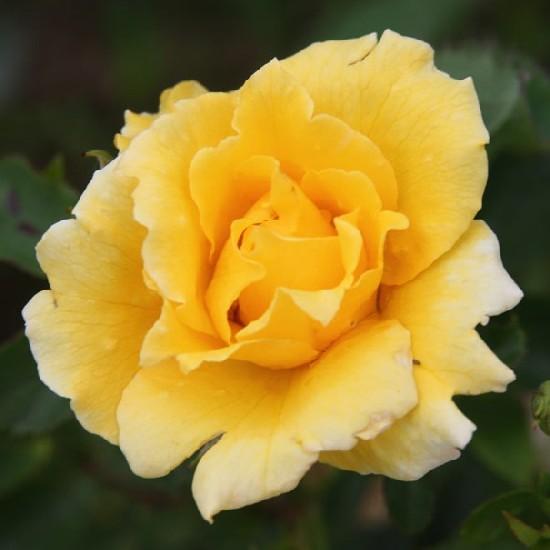 Ráksai Lea emléke - Floribunda rózsa