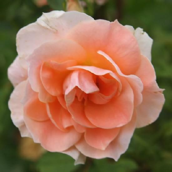Ratosnya - Floribunda rózsa