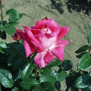 Razsó Imre emléke - Teahibrid rózsa