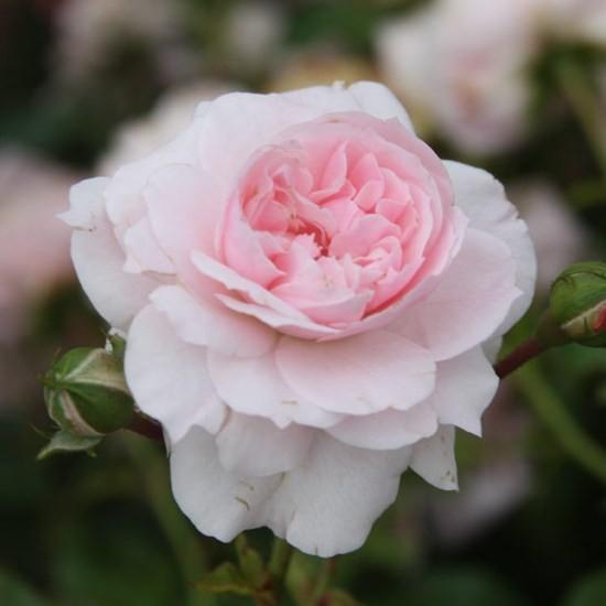 Régen - Floribunda rózsa