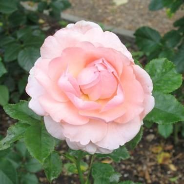 Rómer Flóris emléke - Teahibrid rózsa