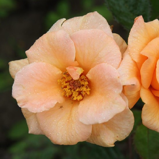 Rózsavölgyi Márk emléke - Floribunda rózsa
