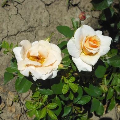 Selmecbánya - Floribunda rózsa