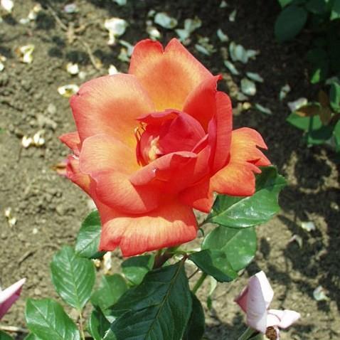 Szabadka - Teahibrid rózsa