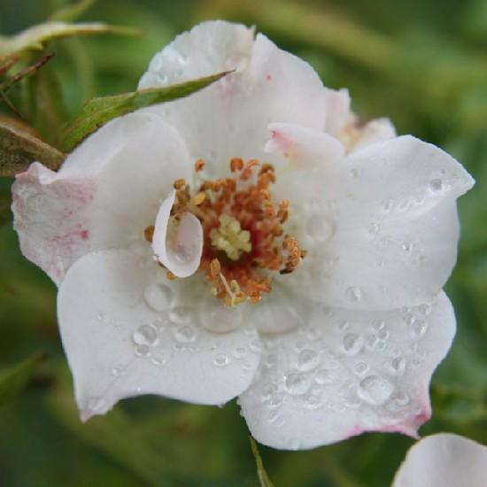 Szárhegy - Floribunda rózsa