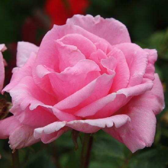 Szent Gellért emléke - Floribunda rózsa