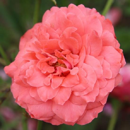 Szerén Atya emléke - Floribunda rózsa