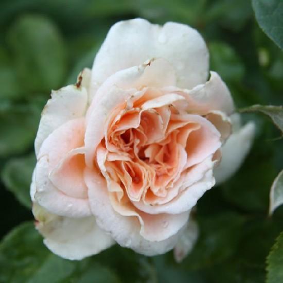 Szindbád - Floribunda rózsa