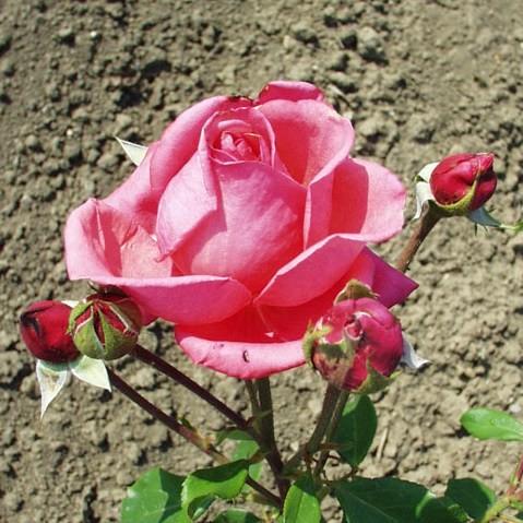 Szováta - Teahibrid rózsa