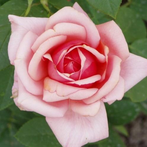Tamási Áron emléke - Teahibrid rózsa