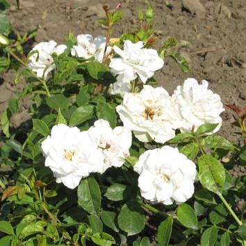 Teréz anya emléke - Floribunda rózsa