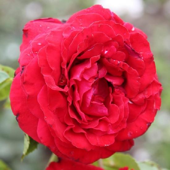 Thököly Imre emléke - Floribunda rózsa