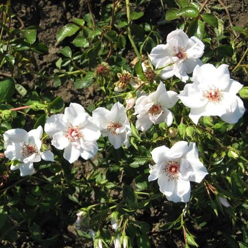 Tokaji Ferenc emléke - Floribunda rózsa