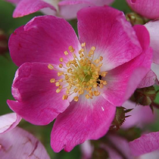 Tolnay Klári emléke - Polianta rózsa