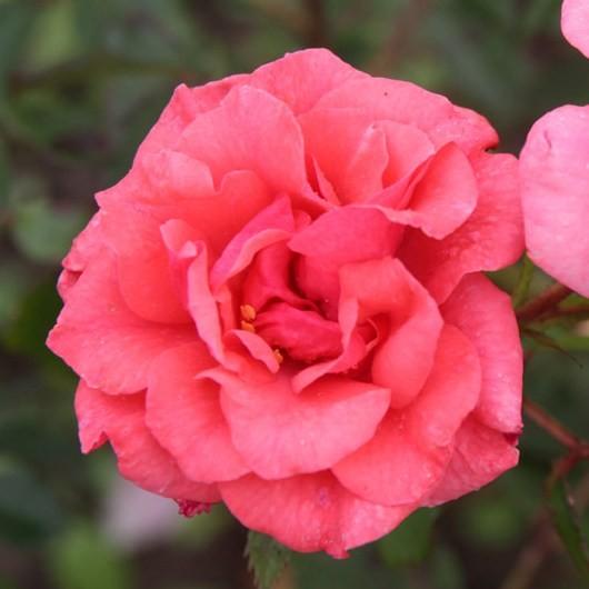 Tömörkény István emléke - Floribunda rózsa