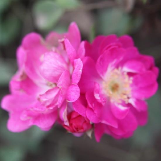 Torda-Aranyos - Miniatűr rózsa