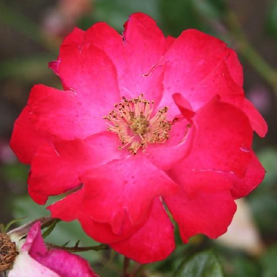 Torontál - Floribunda rózsa