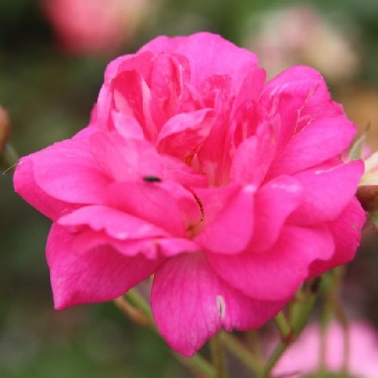 Tóth Árpád emléke - Polianta rózsa