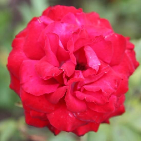 Tóth Ilona emléke - Floribunda rózsa