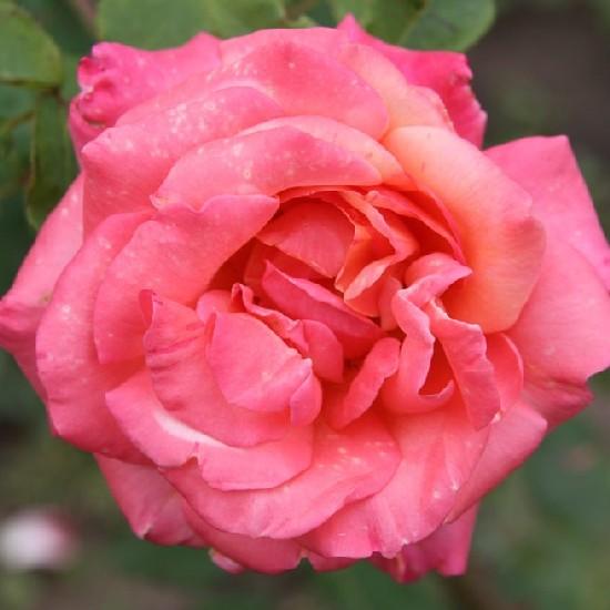 Úz - Teahibrid rózsa