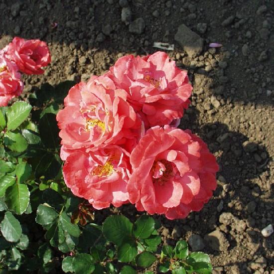 Vasvári Pál emléke - Polianta rózsa