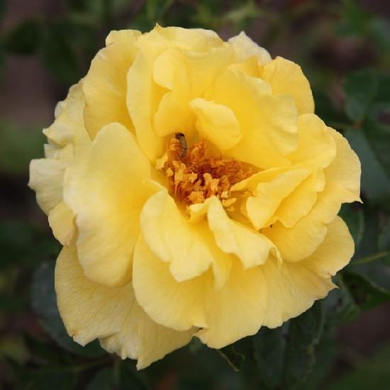 Velence - Floribunda rózsa