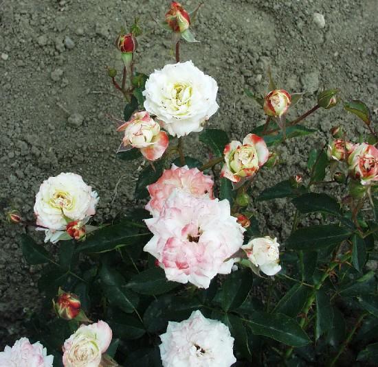Veres Pálné emléke - Polianta rózsa