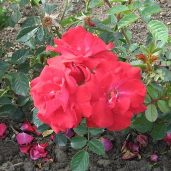 Verőce - Floribunda rózsa