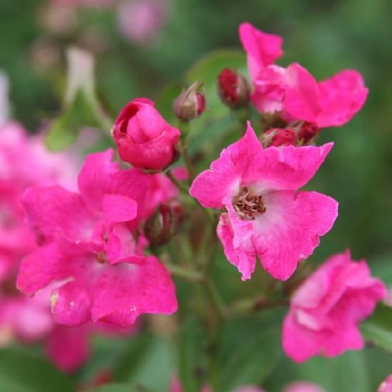 Veszprém - Polianta rózsa