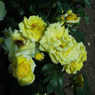 Wilma Holder - Floribunda rózsa