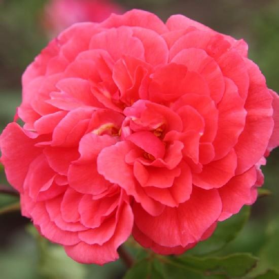 Zágon - Floribunda rózsa