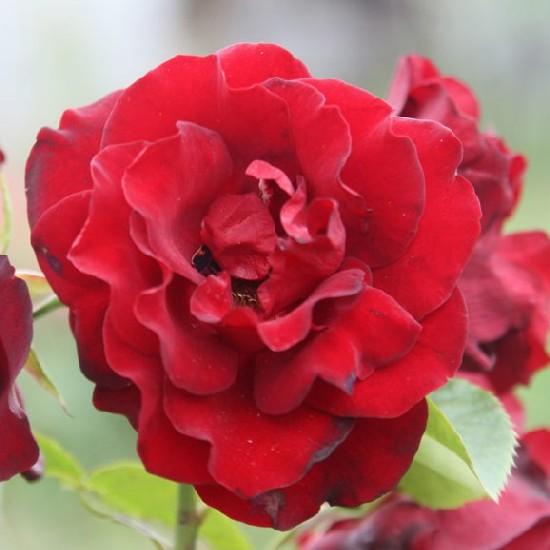 Zrínyi Miklós emléke - Floribunda rózsa