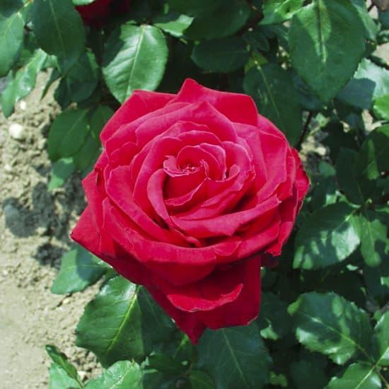 Aradi 13 - Teahibrid rózsa