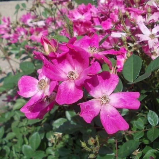 Beszterce-Naszód - Miniatűr rózsa
