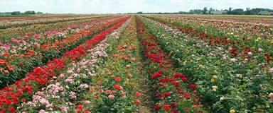 Szőreg, a rózsák hazája™