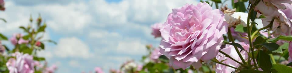A szőregi rózsa