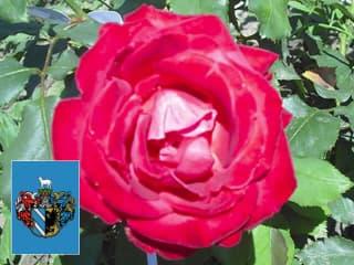 Egypercesek a rózsáról - Szeged