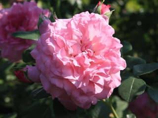 Egypercesek a rózsáról - Árpád-házi Szent Erzsébet emléke
