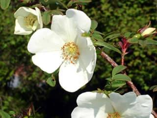 Egypercesek a rózsáról - Rosa sericea