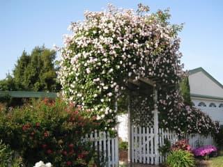 Egypercesek a rózsáról - Legmagasabb futórózsa