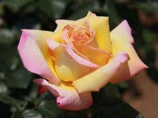Egypercesek a rózsáról - Peace