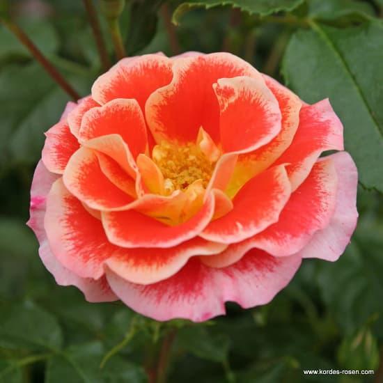 Airbrush® - Floribunda rózsa