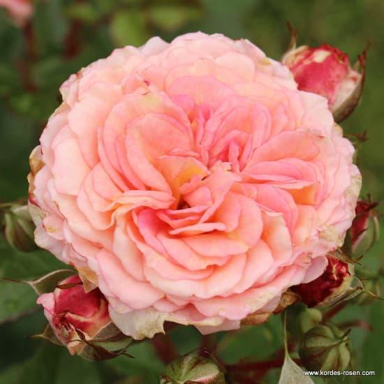 Amaretto® - Floribunda rózsa